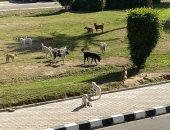 قارئ يشكو انتشار الكلاب الضالة بشارع الزهور فى مدينة العبور
