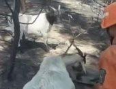 رجال إطفاء يروون عطش ماعز أصيبت فى حريق بغابات الصين.. فيديو
