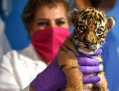 لزيادة الوعى بالبيئة.. إطلاق اسم كوفيد على نمر حديث الولادة فى المكسيك
