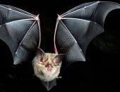مش واحد بس..باحثون: الخفافيش تؤوى 6 أنواع جديدة من فيروسات كورونا