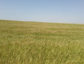 الزراعة: حصاد القمح بمشروع غرب المنيا الخميس المقبل.. اعرف التفاصيل