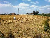 الزراعة: نتوقع تخطى محصول القمح 9 ملايين طن بعد زيادة المساحة المنزرعة