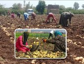الزراعة: فحص 572 ألف طن بطاطس معدة للتصدير.. الاتحاد الأوروبى بالمقدمة