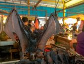 بعد ارتباطه بنقل كورونا.. الصين تشطب عقاقير مستخرجة من فضلات الخفافيش