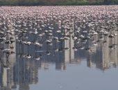 الفلامنجو تقترب من رقم قياسى جديد بعد رصد 125 ألف طائر فى الهند