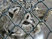 نمر أبيض نادر يقتل 43 من الأغنام والماشية فى الهند.. اعرف القصة