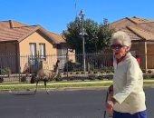 """""""خارجة تتفسح"""".. نعامة تتنزه فى شوارع سيدنى وسط الإغلاق بأستراليا.. فيديو"""