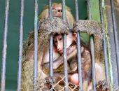 فيديو وصور.. أول 4 ولادات للقردة بحديقة حيوان الجيزة في أزمة كورونا