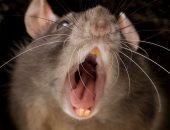 علماء يجدون طريقة لإصابة الفئران بكورونا.. اعرف التفاصيل