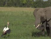 هكذا انتهت معركة بين فيل وطائر مهدد بالانقراض فى افريقيا.. فيديو وصور