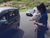 فيديو.. مزرعة يابانية تسمح بالتجول بين حيواناتها بالسيارات لكسر جمود الحجر الصحى