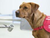 بدء تدريب الكلاب لاكتشاف كورونا قبل ظهور الأعراض فى بريطانيا