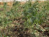 حدائق الشيطان.. ضبط مزرعة مخدرات بالإسماعيلية بقيمة 7 ملايين جنيه..فيديو