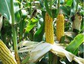 """""""الزراعة """" لجان لمتابعة حصاد 4 مليون و674 ألف فدان حاصلات صيفية"""