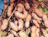 """"""" الزراعة """" :مصر تصدر 63 ألف طن سنويا من الفول السوادنى لدول عربية وأوربية"""