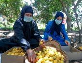 """""""الزراعة"""" تقدم 10 توصيات لأشجار الخوخ والمشمش لمواجهة ذبابة الفاكهة"""