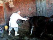 تحصين 240 ألف رأس ماشية ضد الحمى القلاعية بالشرقية والمنوفية..صور
