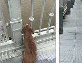 """الصديق الوفي .. كلب يجلس حزينا 4 أيام على """"جسر بالصين"""" بعد انتحار صاحبه"""