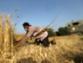 فرقة من الجامعيين ينافس الآلات فى جنى محاصيل غزة