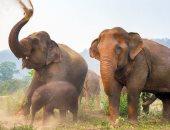 حكومة بتسوانا تكشف الغموض حول نفوق مئات الأفيال: البكتيريا الزرقاء