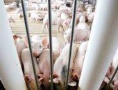 فرض الحجر الصحى بسبب طاعون الخنازير فى شرق روسيا