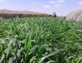 """الزراعة : إنتاج العلف الأخضر لنبات """"البانيكم"""" فى الصحراء الغربية.. صور"""