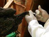 كفر الشيخ: تحصين 40620 طائرا من الأمراض الوبائية واستمرار تطهير وتعقيم المراكز