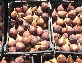 """أستاذ مناخ زراعى: روشتة لـ""""التين"""" لمواجهة ذبابة الفاكهة وزيادة الإنتاج"""
