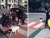 صور.. كلب اعتاد إيقاف المرور ليتمكن الأطفال من عبور الطريق بأمان.. اعرف القصة