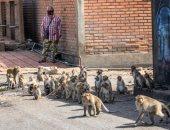 القرود تحتل ليبورى التايلاندية بعد تفشى كورونا.. صور
