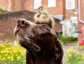 صور.. صداقة غربية بين كلب وبطة فى بريطانيا.. اعرف حكايتهم إيه
