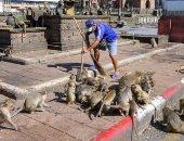 فيديو.. الناس فى البيوت والقرود فى الشارع.. ما الذى يحدث فى تايلاند؟
