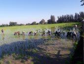 زراعة 67 ألفا و977 فدان أرز بمراكز محافظة الغربية.. صور