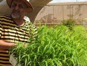 صور .. الزراعة: مركز بحوث الصحراء ينجح فى إنتاج شتلات البانيكم بمطروح