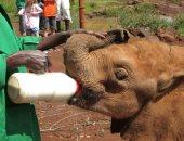 كورونا والصيد غير المشروع يهددان دور رعاية أيتام الأفيال فى كينيا.. فيديو