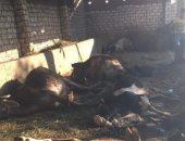 نفوق 6 رؤوس من الماشية داخل حظيرة بالدقهلية بعد وضع مجهول سما لهم