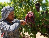 ما هى الضوابط الواجب اتباعها لمزارعى العنب؟ الإجابة × 25 معلومة