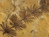 اكتشاف حفرية نباتية عمرها 160 مليون سنة شمالى الصين