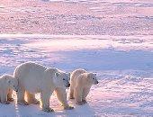 دراسة تحذر: الدببة القطبية معرضة لخطر الموت بحلول عام 2100