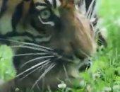 """أنثى من نمور """"سومطرة"""" تبصر النور بحديقة للحيوانات فى بولندا.. فيديو"""