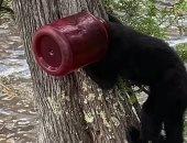 فيديو.. إنقاذ دب صغير رأسه محشورة بوعاء بلاستيكى فى أستراليا
