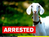 """الشرطة الهندية تعتقل """"معزة"""" لعدم ارتداء كمامة أثناء التجول بالطريق.. فيديو"""