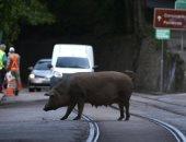 """صحيفة برازيلية تحذر من نسخة جديدة من """"أنفلونزا الخنازير"""".. وخبراء: يهدد حياة البشر"""