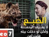 """أشهر مربى """"ضباع"""" بمصر: حيوان رمة لكنه يعطيك الأمان فى داره..ومستحيل تعرف الذكر من الأنثى"""