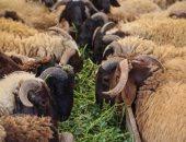 الزراعة تصدر إرشادات للمواطنين قبل شراء أضحية العيد