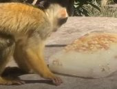 قرود سنجابية تأكل آيس كريم داخل حديقة حيوان لندن بطريقة طريفة.. فيديو