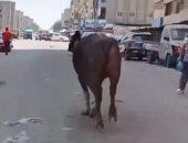"""فيديو..شاب يطارد عجل هربان بالشارع فى فيديو على """"تيك توك"""": حلق يا برنس"""