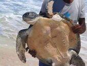 محمية العميد تنجح فى إنقاذ ترسة بحرية وعلاجها وإعادة إطلاقها.. فيديو وصور
