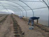 إقامة مكون زراعى متكامل لدعم المجتمعات البدوية بسانت كاترين