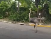 """""""نعامتان"""" تجريان فى شوارع مزدحمة.. والسلطات الفلبينية تحقق بعد نفوق إحداهما"""